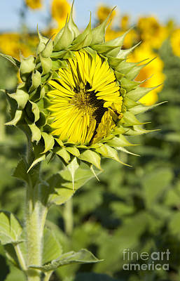 Photograph - Sunflower Ready Set Go At Mississinewa by Lee Craig
