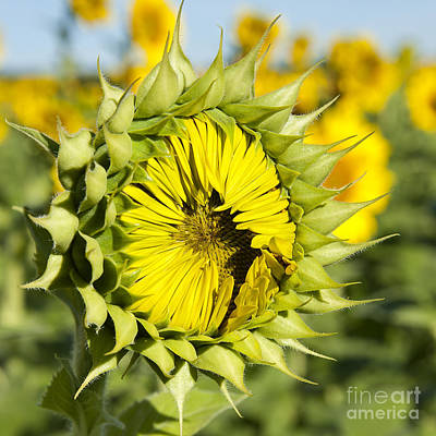 Photograph - Sunflower Ready Set Go At Mississinewa Square by Lee Craig