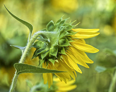 Photograph - Sunflower Rear by David Letts