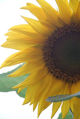 Sunflower Art Print by Rebecca Powers
