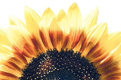 Art Print featuring the photograph Sunflower Rising by Wade Brooks
