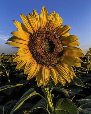 Photograph - Sunflower by Rob Graham