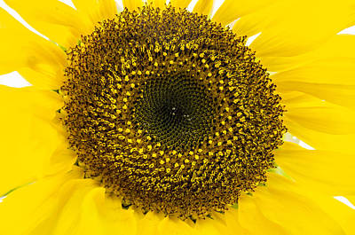 Photograph - Sunflower by Ross G Strachan