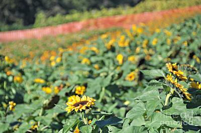 Photograph - Sunflower Row by Mindy Bench