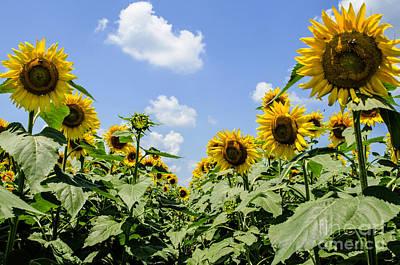 Photograph - Sunflower Row by Paul Mashburn