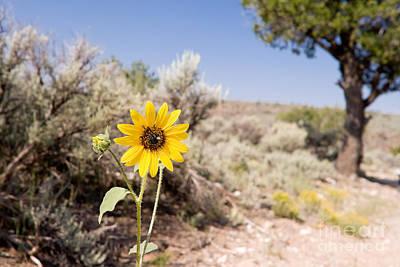 Desert Photograph - Sunflower Sagebrush  by Jim Pruitt