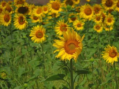 Meadow Photograph - Sunflower by Samantha Mattiello