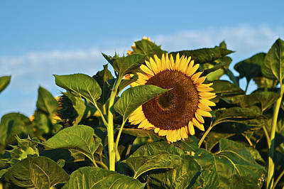 Photograph - Sunflower by SC Heffner