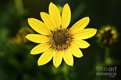 South Louisiana Photograph - Sunflower by Scott Pellegrin