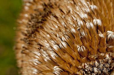 Photograph - Sunflower Seeds  by Wilma  Birdwell