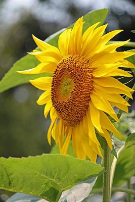Sunflower Series IIi Original
