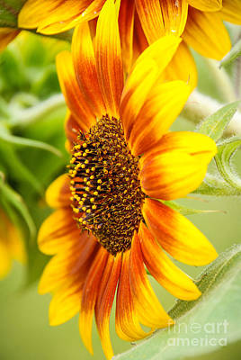 Photograph - Sunflower Side Portrait by Grace Grogan