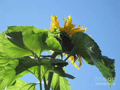 Photograph - Sunflower Sky by Elizabeth Stedman