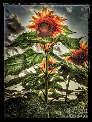 Photograph - Sunflower Sky by Michael Arend