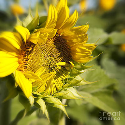 Photograph - Sunflower Speak No Evil At Mississinewa by Lee Craig