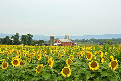 Photograph - Sunflower Splendor #3 - Mifflinburg Pa by Joel E Blyler