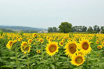 Photograph - Sunflower Splendor #4 - Mifflinburg Pa by Joel E Blyler