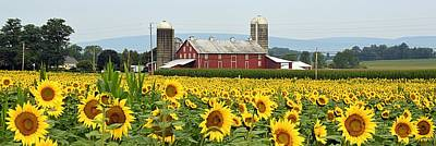 Sunflower Splendor Panorama #1 - Mifflinburg Pa Art Print