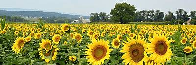 Sunflower Splendor Panorama #2 - Mifflinburg Pa Art Print