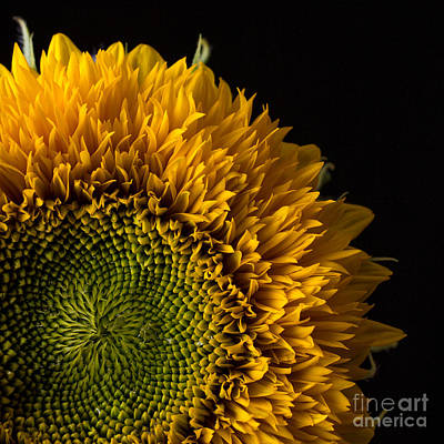 Sunflowers Royalty-Free and Rights-Managed Images - Sunflower Square by Edward Fielding