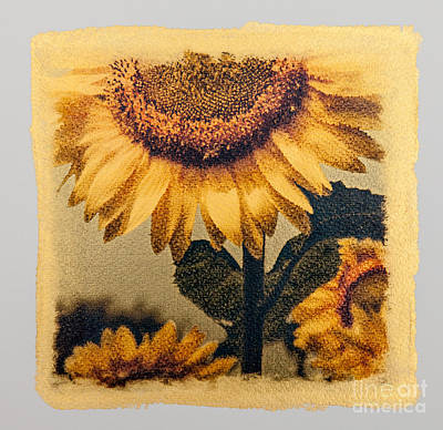 Gold Tone Photograph - Sunflower Square  Number 8- Special Printing Process  by Jim Swallow