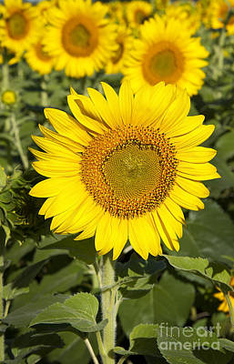 Photograph - Sunflower Standout by Lee Craig