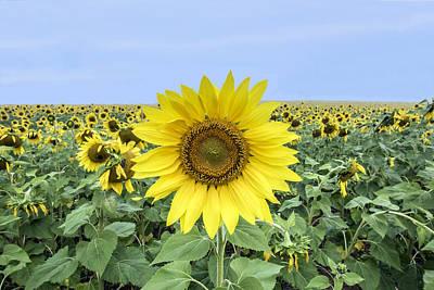 Sunflower Star Of The Show Art Print