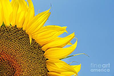 Sunflower Art Print by Stela Taneva