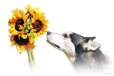 Siberian Husky Photograph - Sunflower by Stephanie Laird