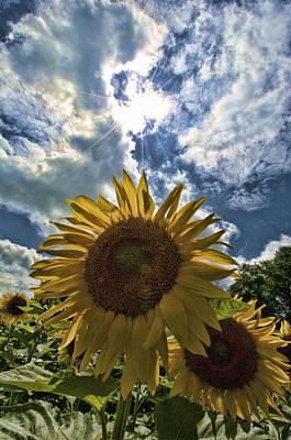 Sunflower Study 1 Art Print by Mitchell Brown