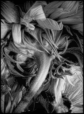 Photograph - Sunflower Study #13 by Louise Kumpf