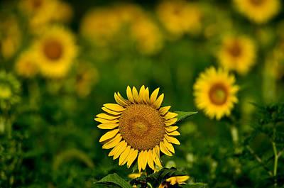 Sunflower Summer Art Print by Christopher L Nelson