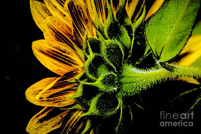 Photograph - Sunflower Sun Macro by Grace Grogan