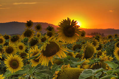 Sunflower Sun Rays Print by Mark Kiver