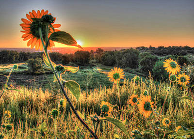 Sunflower Sunrise 1 Art Print by Diane Alexander