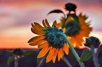 Photograph - Sunflower Sunrise 4 by Diane Alexander
