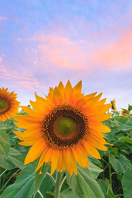 Buttonwood Farm Photograph - Sunflower Sunrise by Bryan Bzdula