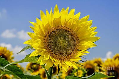 Photograph - Sunflower Sunscape by Paul Mashburn
