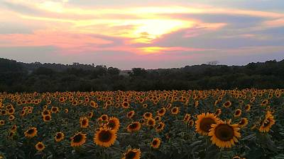 Photograph - Sunflower Sunset by Dawn Vagts