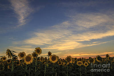 Photograph - Sunflower Sunset by Dennis Hedberg