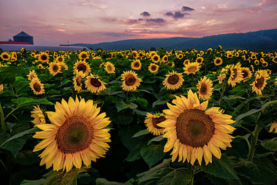 Photograph - Sunflower Sunset II by Mark Robert Rogers