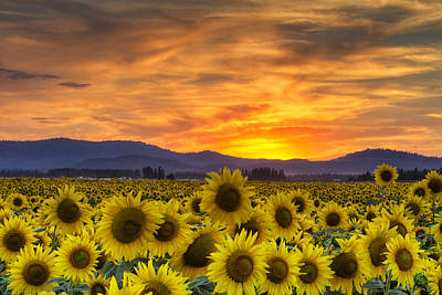Photograph - Sunflower Sunset by Mark Kiver