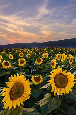 Photograph - Sunflower Sunset by Mark Robert Rogers
