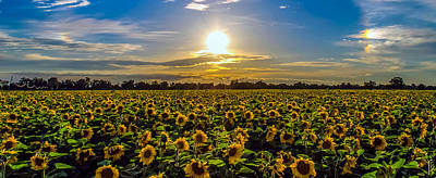 Sunflower Sunset Art Print by Mike Ronnebeck