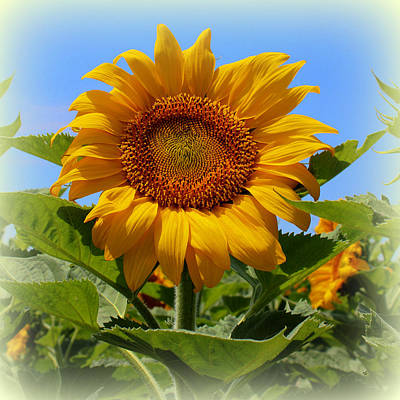 Photograph - Sunflower Sunshine by Betty Northcutt