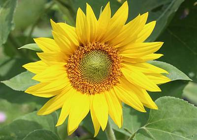 Photograph - Sunflower Sunshine by Lucinda VanVleck