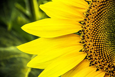 Sunflower Sunshine Art Print