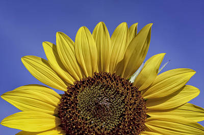 Sunflower Sunshine Original by Teri Virbickis