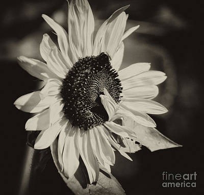 Photograph - Sunflower Suprise by Wilma  Birdwell
