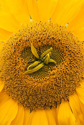 Photograph - Sunflower by Susan Leonard